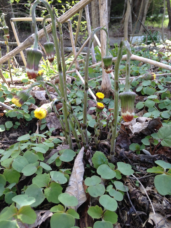 April Coltsfoot stalks and flowers